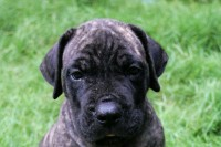 1001534955_2_644x461_top-boerboel-puppies-available-add-some-photos_rev001