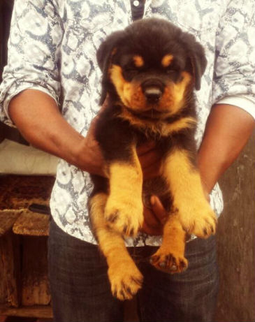 1001512306_2_644x461_pedigree-box-head-rottweiler-puppies-at-a-giveaway-price-add-some-photos_rev009