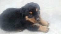 1001158662_3_644x461_excellent-pedigree-box-head-rottweiler-puppy-puppies-for-sale-dogs-cats_rev006